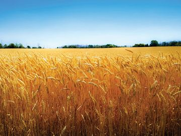 OUR NIAGARA: Wheat Kings