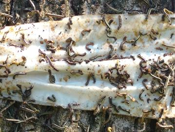 Mississauga city council has approved an aerial spraying policy to target cankerworms and gypsy moths.