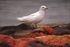 Mercury levels rising in endangered gulls: report-Image1