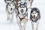 Marmora SnoFest dog sledding races cancelled