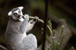 Lemur at the Toronto Zoo