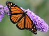 Feds urged to help butterflies with milkweed-Image1