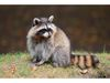 How to protect your garbage or garden from raccoons