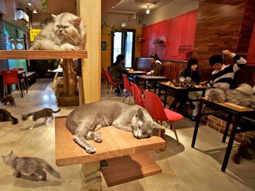 An example of a cat cafe from Japan