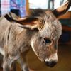 Family Takes In Orphaned Donkey