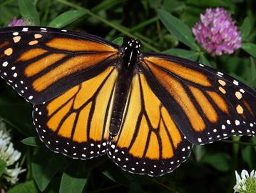 Monarch butterfly habitat to be built in Milton