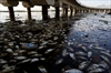 Rio officials probe source of fish die-off in Olympic waters-Image1