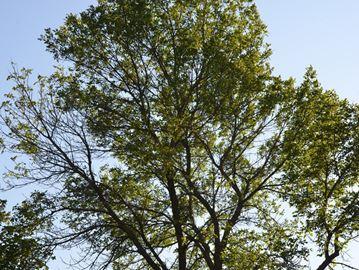 Boulevards ash trees