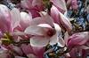 Saucer blooms