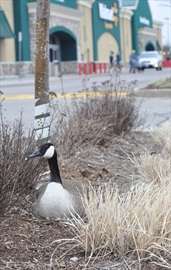 Canada Goose' store walmart
