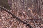 Lorne Park coyotes