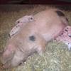 Elizabeth Hurley's pig gives birth-Image1
