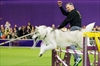 At Westminster, border collies the breed to beat for agility-Image1