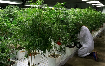 Applications up, approvals slow for med weed-Image1