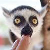 Amazing Animals baby lemur