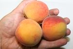 Small peaches