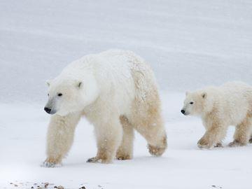 A mother polar bear and her cub