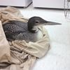 Injured loon