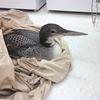 Injured loon