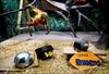 Ape at Utah zoo predicts Panthers to win Super Bowl-Image1