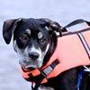 Dog wearing a life jacket