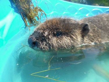 Westy, a recent arrival from Manitoba, will spend two years at Aspen Valley Wildlife Sanctuary.