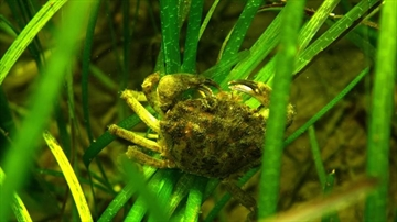Removing green crab effective control method-Image1
