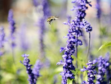 Bees are effective pollinators