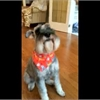 Funny pet video of the day: Max the minature schnauzer flips his Greenie off his nose