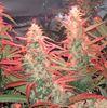 Mulmur medical marijuana facility