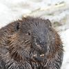 The industrious beaver is not afraid of hard work during the winter