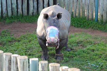 rhino survivor
