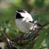 Charming chickadee