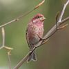 The Purple Finch: One of our most colourful birds