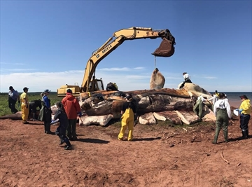Marine mammal experts are shown examining a dead North Atlantic right whale after it was pulled ashore in P.E.I.on Thursday June 29, 2017, in a bid to determine what killed it and several other whales in recent weeks. THE CANADIAN PRESS/HO-Marine Animal Response Society