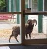 Sheep left to wander southern Alberta city-Image1