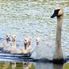 Port Severn resident a friend to family of trumpeter swans