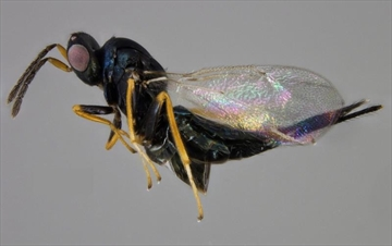 Researchers raise wasps to kill emerald ash borer-Image1