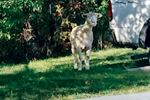 Elusive animal on run since Fall Fair