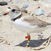 Endangered piping plover birds nest at Clarington's Darlington Provincial Park for the first time in decades
