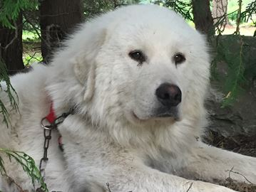 Bob the Great Pyrenees