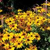 Rudbeckia paired with ornamental grasses