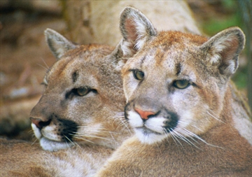 Two cougars