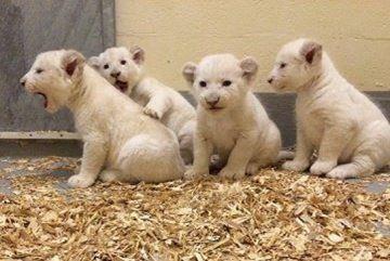 Toronto Zoo Lion Cubs