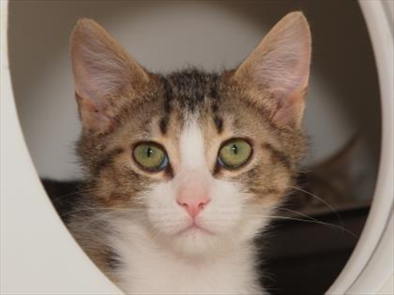 St Catharines Humane Society Cats