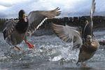 OUR NIAGARA: The Almighty Ducks