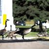 Port Hope has new weapons in fight against pesky geese