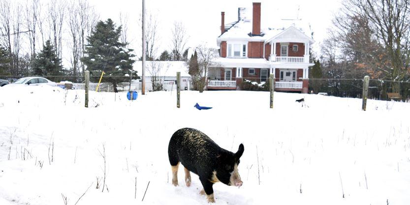 Pig in yard