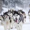 Dog sled races fast approaching