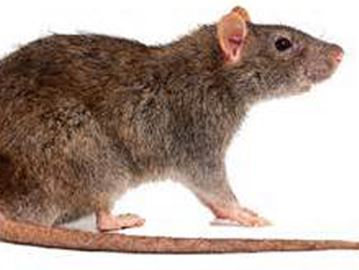 Alcona resident asks town to eradicate rat infestation